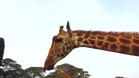 Grupo de girafas no savana em África vídeos de arquivo