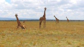 Grupo de girafas no savana em África video estoque