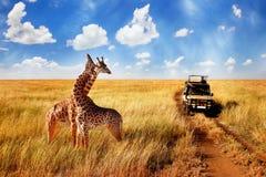 Grupo de girafas selvagens no savana africano contra o céu azul com as nuvens perto da estrada tanzânia imagem de stock