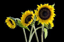 Grupo de girasoles hermosos en fondo negro: Trayectoria de recortes incluida Imagen de archivo libre de regalías