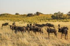 Grupo de gnu no parque nacional de Etosha, Namíbia Imagem de Stock Royalty Free