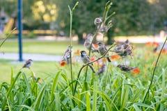 Grupo de gorriones que descansan sobre lirios del verano Fotos de archivo