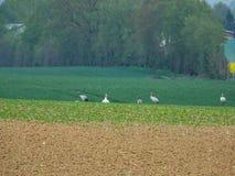 grupo de gr?as que buscan la comida en un campo arado imagen de archivo