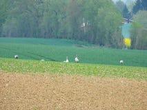 grupo de gr?as que buscan la comida en un campo arado foto de archivo libre de regalías