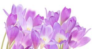Grupo de grandes flores lilás do açafrão isoladas no branco Imagem de Stock