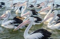 Grupo de grandes pelícanos en agua la entrada Imagen de archivo libre de regalías