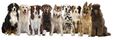 Grupo de grandes raças diferentes do cão imagem de stock royalty free