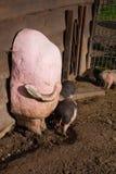Grupo de grandes suínos que comem fora no rancho Imagem de Stock
