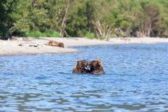 Grupo de grisáceo salvaje de los arctos del Ursus de los osos marrones en agua en el lago Los osos de los osos rugen luchar imagen de archivo libre de regalías