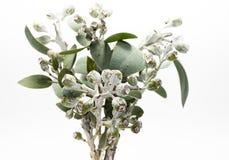 Grupo de gumnuts do eucalipto Imagem de Stock