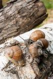 Grupo de hélice grande dos caracóis de Borgonha, caracol romano, caracol comestível, fotografia de stock royalty free