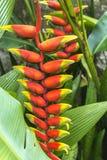 Grupo de Heliconia e folhas verdes foto de stock royalty free