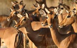 Grupo de hembras del impala Fotografía de archivo