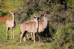 Mayores hembras de Kudu imagenes de archivo