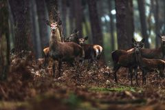 Grupo de hinds dos veados vermelhos na floresta do pinho do outono Fotografia de Stock