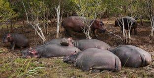 Grupo de hipopótamos Fotos de archivo