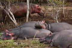 Grupo de hipopótamos Imagen de archivo libre de regalías