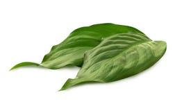 Grupo de hojas del verde en el blanco Fotos de archivo