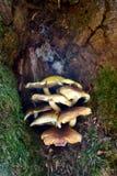 Grupo de hongos de estante crecidos en la corteza de un árbol imagen de archivo libre de regalías