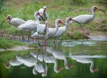 Grupo dos íbis brancos Foto de Stock