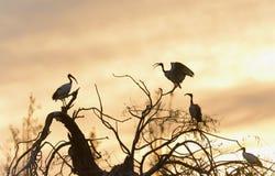 Grupo de Ibis sagrado en la puesta del sol Imagen de archivo