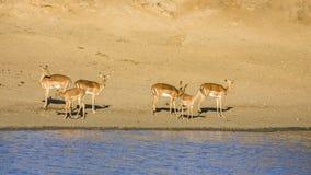 Grupo de impalas en el riverbank en el parque de Kruger, Suráfrica fotos de archivo