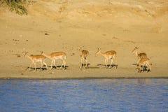 Grupo de impalas en el riverbank en el parque de Kruger, Suráfrica foto de archivo libre de regalías