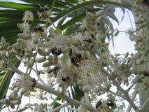 Grupo de insectos que alimentan en las flores blancas en una palmera tropical en Venezuela Imágenes de archivo libres de regalías