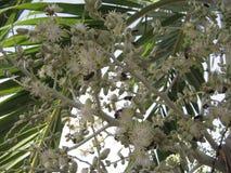 Grupo de insectos que alimentan en las flores blancas en una palmera tropical en Venezuela Fotos de archivo