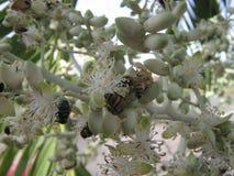 Grupo de insectos que alimentan en las flores blancas en una palmera tropical en Venezuela Foto de archivo libre de regalías