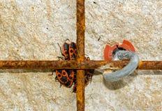 Grupo de insectos rojos Imagen de archivo