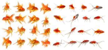 Grupo de isolamento dos peixes do ouro no fundo branco Imagens de Stock Royalty Free