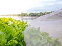 Grupo de jacinto de agua que flota en el río Tailandia casera tradicional Foto de archivo
