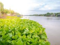 Grupo de jacinto de agua que flota en el río Tailandia casera tradicional Imágenes de archivo libres de regalías