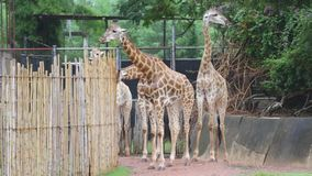 Grupo de jirafa que come la comida en el d3ia metrajes