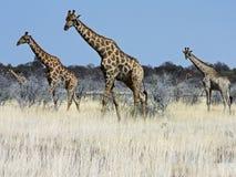 Grupo de jirafas Foto de archivo
