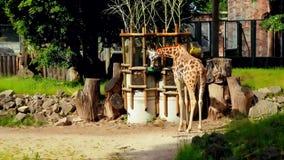 Grupo de jirafas africanas jovenes en un paseo metrajes