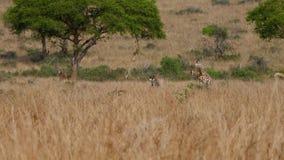 Grupo de jirafas africanas salvajes que pastan la hierba amarilla de Savannah In Dry Season almacen de video