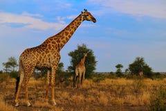 Grupo de jirafas (camelopardalis del Giraffa) Imagen de archivo