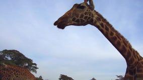 Grupo de jirafas en sabana en África almacen de metraje de vídeo