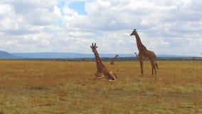 Grupo de jirafas en sabana en África almacen de video