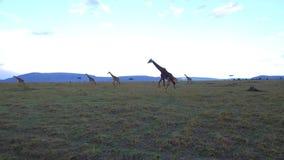 Grupo de jirafas que caminan a lo largo de sabana en África almacen de metraje de vídeo