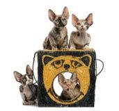 Grupo de jugar de los gatitos de Devon Rex aislado en blanco Fotografía de archivo