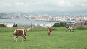 grupo de 4 k A de animal que relaxa no campo verde em um lugar seguro do bio eco nas Astúrias, Gijon, comendo a grama, estando em video estoque