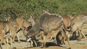 Grupo de kudu almacen de video