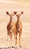 Grupo de Kudu (Strepsiceros del Tragelaphus) Imagen de archivo