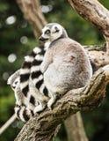 Grupo de lémures Anillo-atados (catta del lémur) en la rama de árbol Imagen de archivo