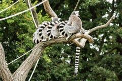 Grupo de lémures Anillo-atados - catta del lémur - que descansan sobre el árbol Fotografía de archivo