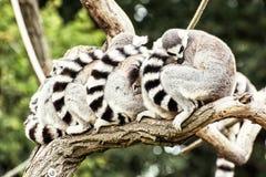 Grupo de lémures Anillo-atados (catta del lémur) que descansan sobre el Br del árbol Imagen de archivo libre de regalías
