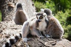 Grupo de lémures Anillo-atados en el tronco de árbol Fotos de archivo libres de regalías